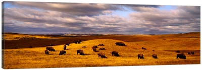 High angle view of buffaloes grazing on a landscapeNorth Dakota, USA Canvas Print #PIM994