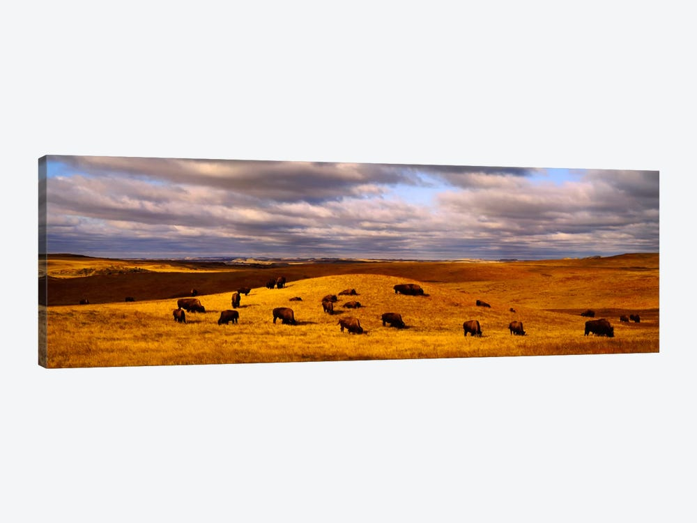 High angle view of buffaloes grazing on a landscapeNorth Dakota, USA by Panoramic Images 1-piece Canvas Print