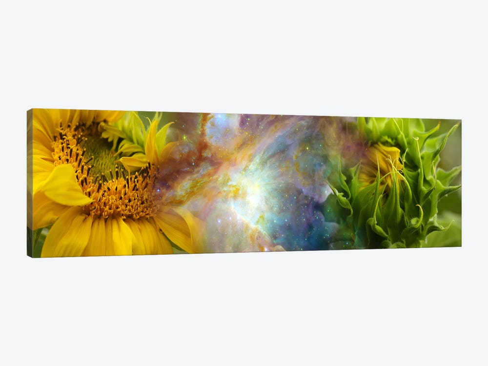 Two sunflowers with gaseous nebula by Panoramic Images 1-piece Canvas Print