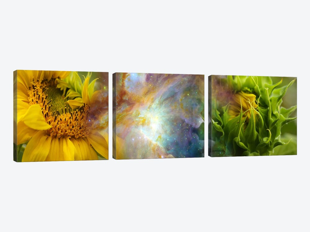Two sunflowers with gaseous nebula by Panoramic Images 3-piece Canvas Art Print