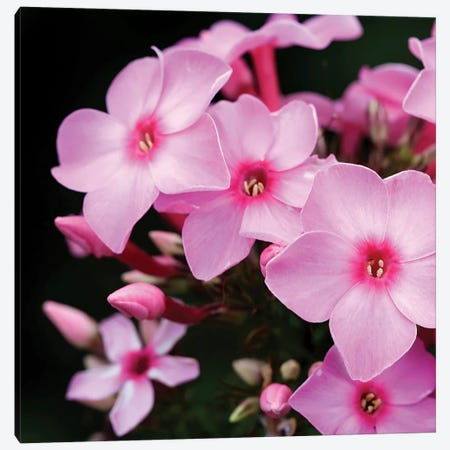 Pink Flowers I Canvas Print #PIS101} by PhotoINC Studio Canvas Print