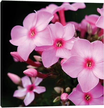 Pink Flowers I Canvas Print #PIS101