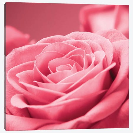 Pink Rose I Canvas Print #PIS103} by PhotoINC Studio Canvas Print