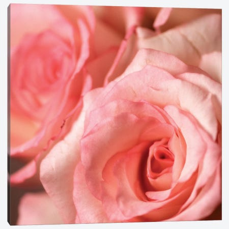 Pink Rose II Canvas Print #PIS104} by PhotoINC Studio Canvas Art