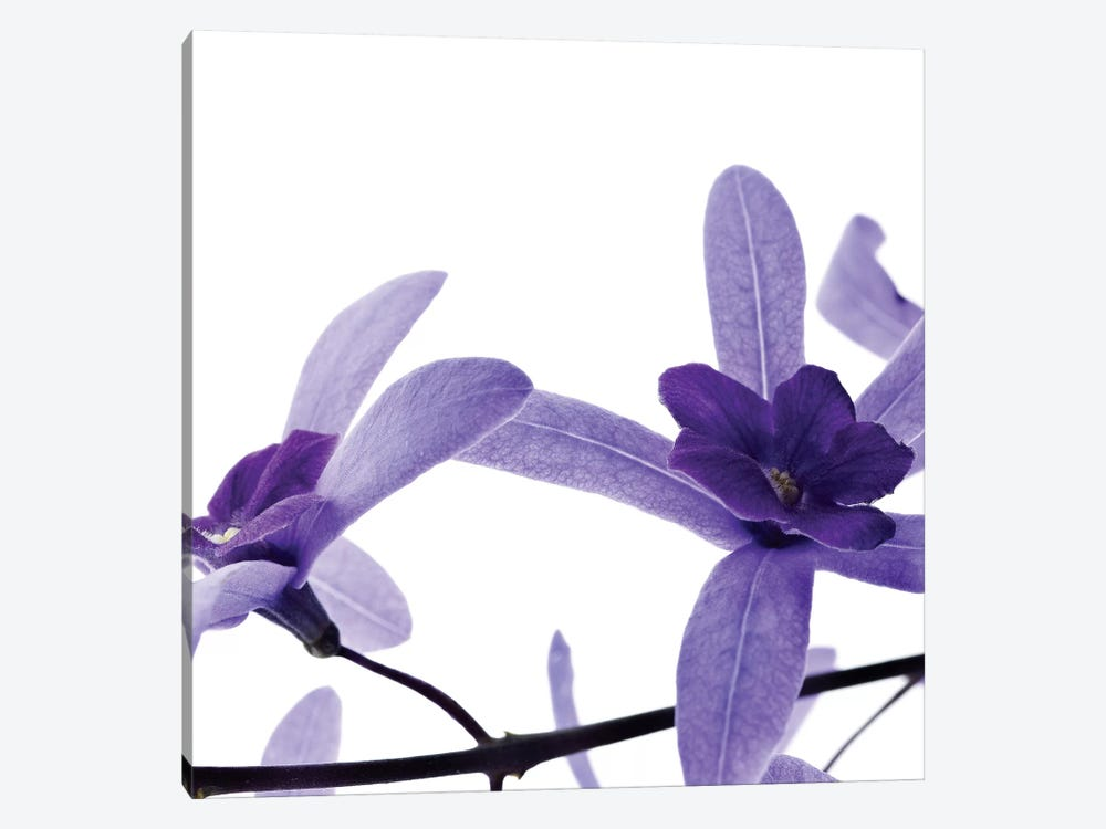 Purple Blossom II by PhotoINC Studio 1-piece Canvas Print