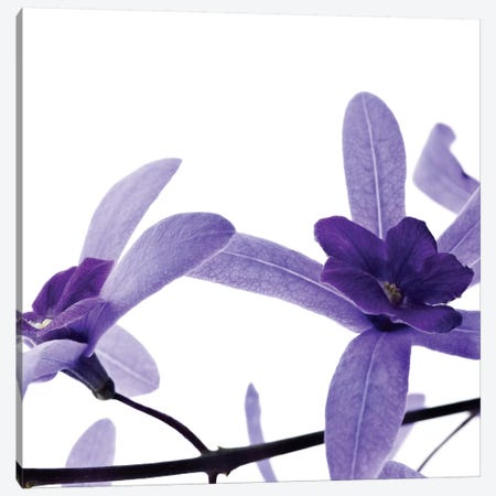 Purple Blossom II Canvas Print #PIS107} by PhotoINC Studio Canvas Wall Art