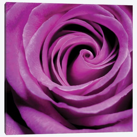 Purple Rose Canvas Print #PIS114} by PhotoINC Studio Canvas Print