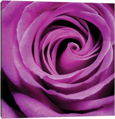 Purple Rose Canvas Art Print