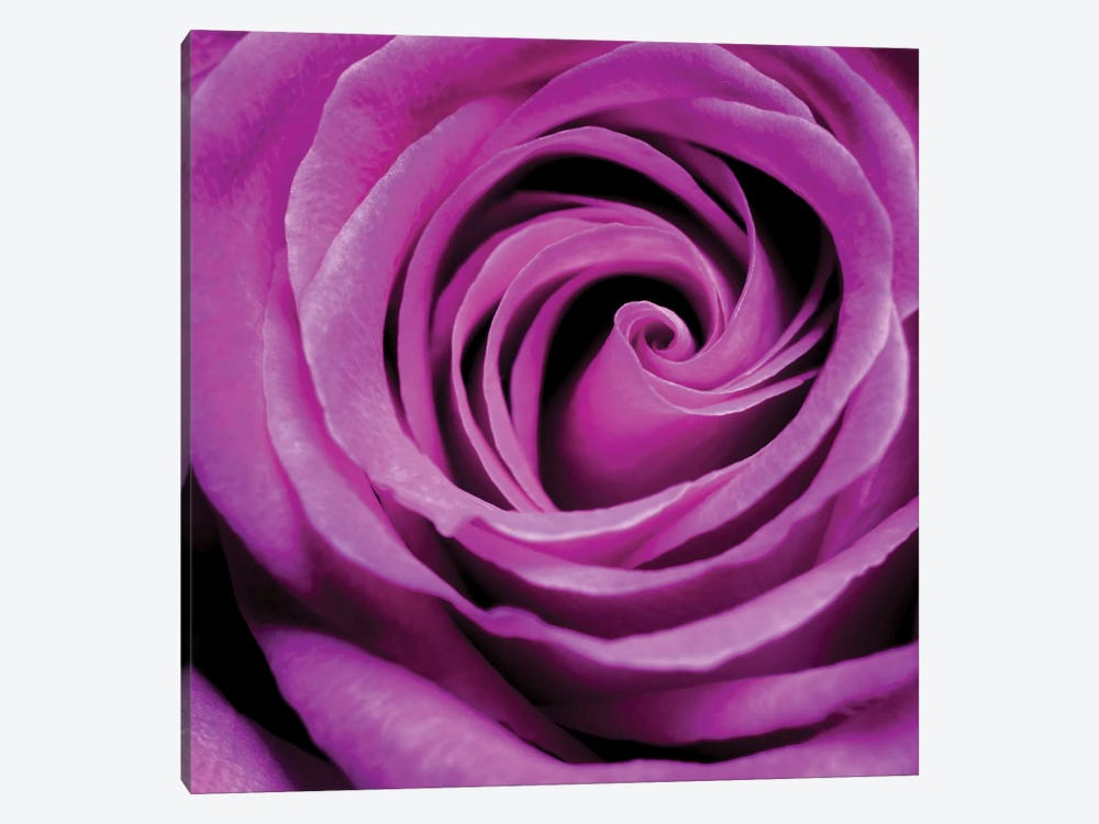 Purple Rose 1-piece Canvas Art Print