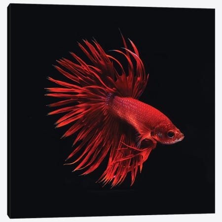 Red Betta Fish Canvas Print #PIS116} by PhotoINC Studio Canvas Print