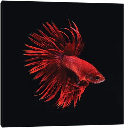 Red Betta Fish Canvas Art Print