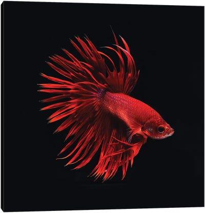 Red Betta Fish Canvas Art Print