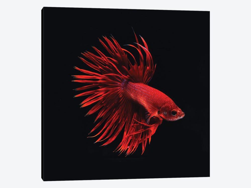 Red Betta Fish by PhotoINC Studio 1-piece Canvas Print