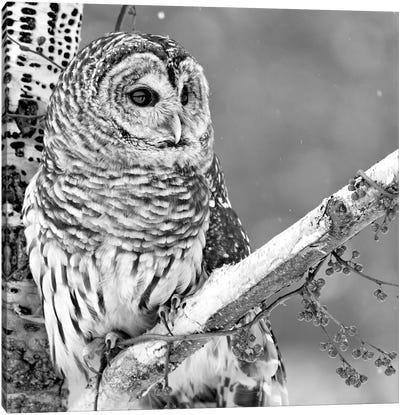 White Owl Canvas Print #PIS168