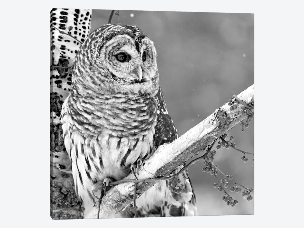 White Owl by PhotoINC Studio 1-piece Canvas Artwork