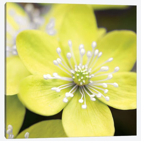 Yellow Blossom Canvas Print #PIS175} by PhotoINC Studio Art Print