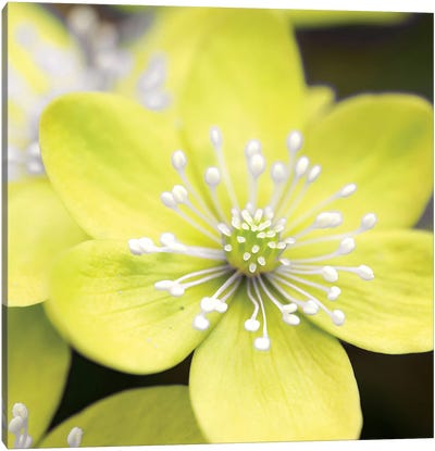 Yellow Blossom Canvas Art Print