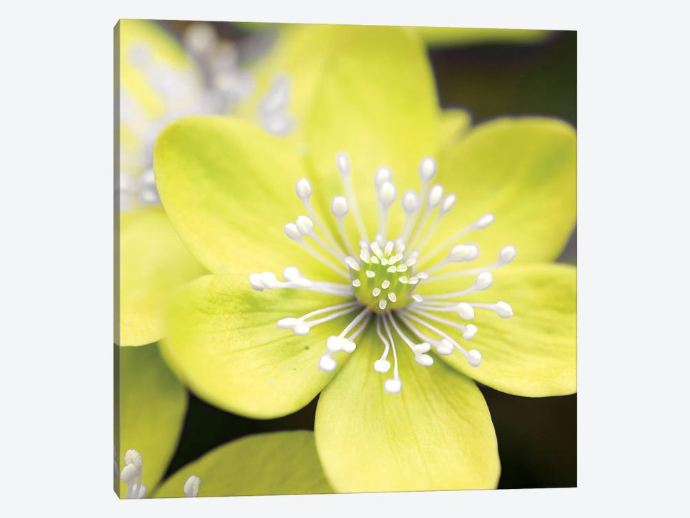 Yellow Blossom by PhotoINC Studio 1-piece Canvas Artwork