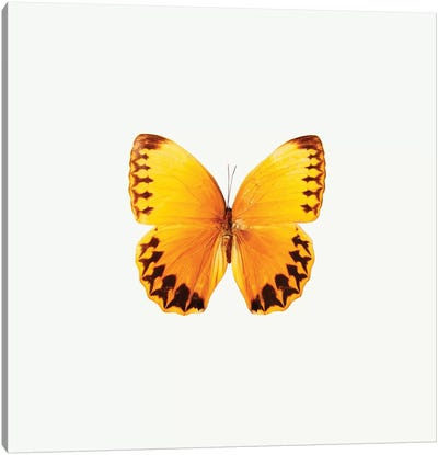 Yellow Butterfly II Canvas Art Print