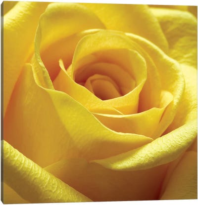 Yellow Rose Canvas Art Print