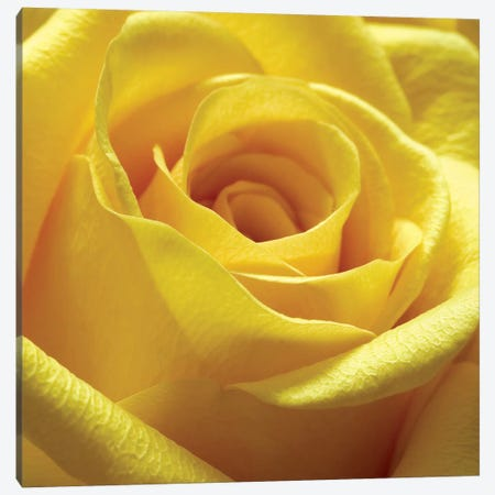 Yellow Rose Canvas Print #PIS178} by PhotoINC Studio Canvas Artwork