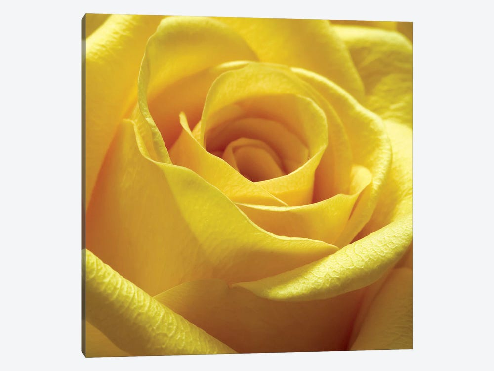 Yellow Rose by PhotoINC Studio 1-piece Canvas Print