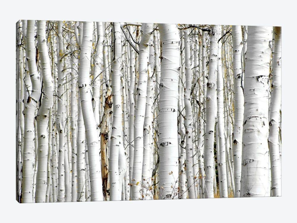 Birch Wood by PhotoINC Studio 1-piece Canvas Art
