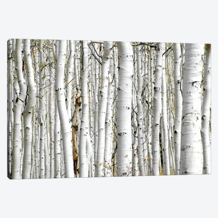 Birch Wood Canvas Print #PIS20} by PhotoINC Studio Canvas Artwork