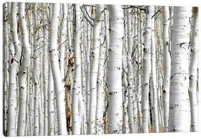 Birch Wood Canvas Art Print