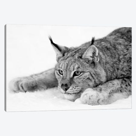 Lynx Canvas Print #PIS81} by PhotoINC Studio Canvas Artwork