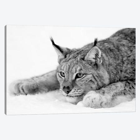 Lynx Canvas Print #PIS81} by PhotoINC Studio Canvas Artwork