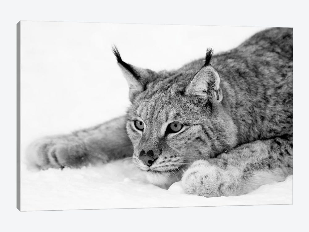 Lynx by PhotoINC Studio 1-piece Canvas Art Print