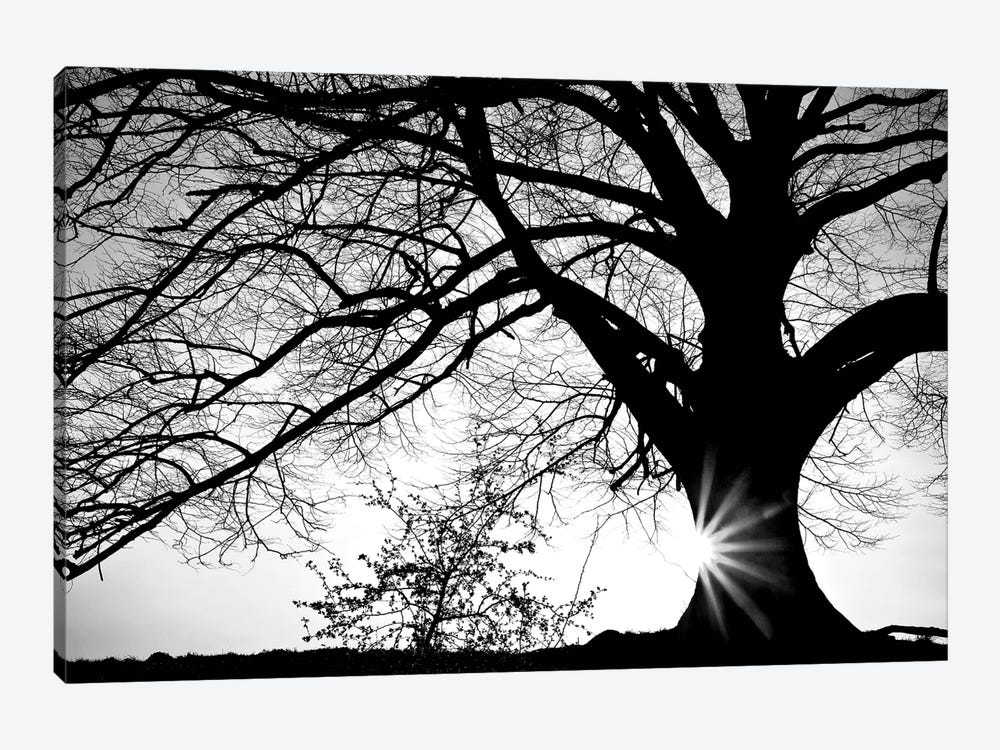 Oak Silhouette by PhotoINC Studio 1-piece Canvas Print
