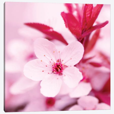 Pink Blossom I Canvas Print #PIS96} by PhotoINC Studio Canvas Artwork