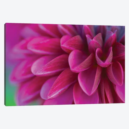Pink Chrysanthemum Canvas Print #PIS99} by PhotoINC Studio Canvas Print