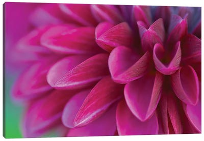 Pink Chrysanthemum Canvas Art Print