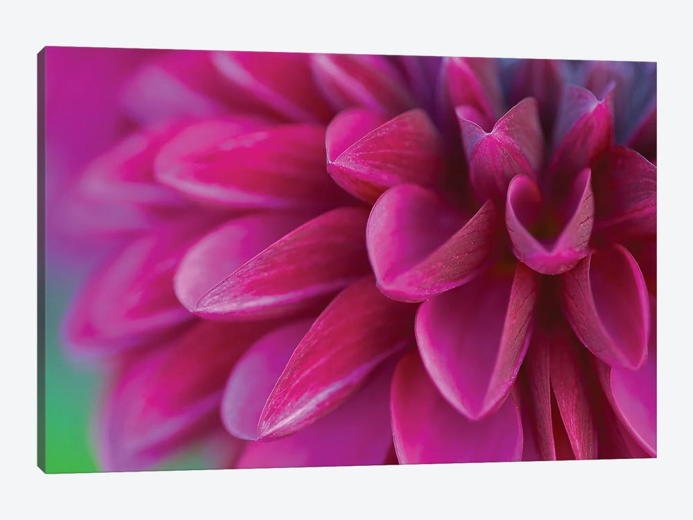 Pink Chrysanthemum 1-piece Canvas Wall Art
