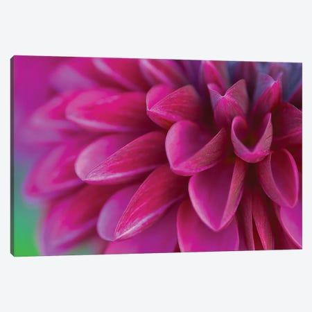 Pink Chrysanthemum Canvas Print #PIS99} by PhotoINC Studio Canvas Print