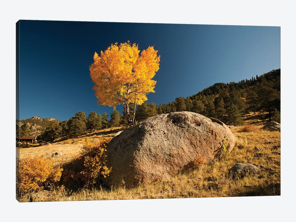 Towering Aspen, Rocky Mountain National Park, Colorado, USA by Patrick J. Wall 1-piece Canvas Print