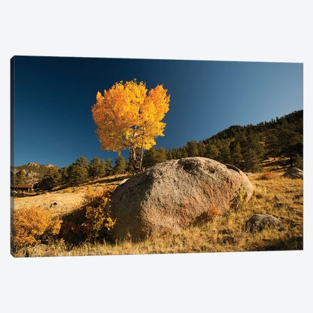 Towering Aspen, Rocky Mountain National Park, Colorado, USA Canvas Print #PJW1} by Patrick J. Wall Canvas Art
