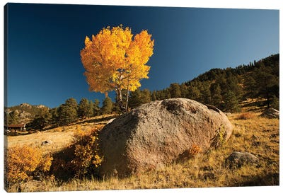 Towering Aspen, Rocky Mountain National Park, Colorado, USA Canvas Art Print