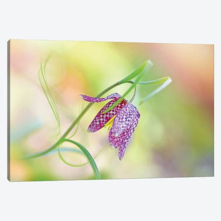 Snake's Head Fritillary Canvas Print #PKR16} by Jacky Parker Canvas Artwork