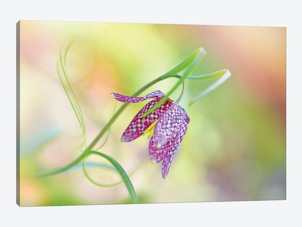 Snake's Head Fritillary by Jacky Parker 1-piece Canvas Artwork
