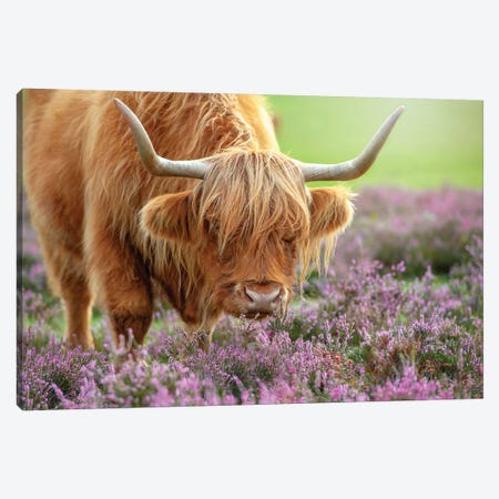 Highland In Heather Canvas Print #PKR1} by Jacky Parker Canvas Art