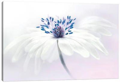 Anemone Blanda Canvas Art Print