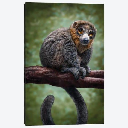 Mongoose Lemur Canvas Print #PLA24} by Patrick LaMontagne Art Print