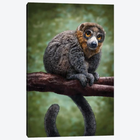 Mongoose Lemur Canvas Print #PLA24} by Patrick LaMontagne Art Print