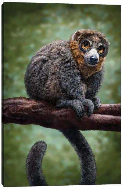 Mongoose Lemur Canvas Art Print
