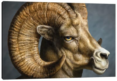 Bighorn Canvas Art Print