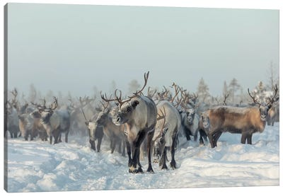Reindeers Canvas Art Print